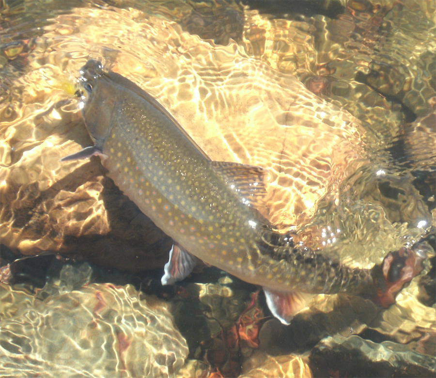 Rangeley River Brook Trout