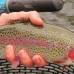 Deerfield River rainbow trout